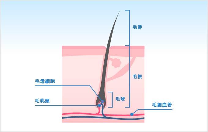 毛の構造について